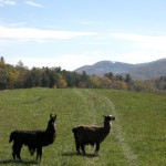 Alpacas, Penland School of Arts and Crafts (Copyright © 2008 Ashley D. Hairston)